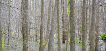 Durch Wiedervernässungsmaßnahmen abgestorbene Waldbestände