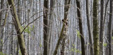 Birkenmoorwald im Grumsin