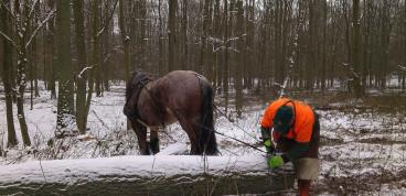 Holzrückung mit Pferden im Laubholzeinschlag