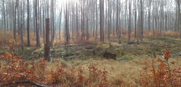 Buchenaltbestand mit Naturverjüngung im Privatwald